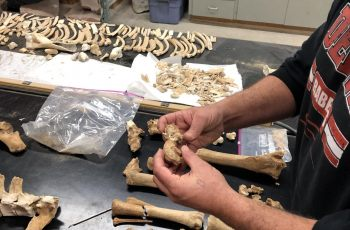 Isaac Hart of the university of Utah compares bones from the Lehi horse