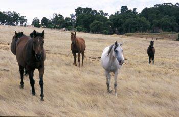 Work For National Horse Traceability System Underway - Horseyard.com.au