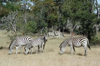 Stripes may be cool – but they don't cool zebras down - Horseyard.com.au