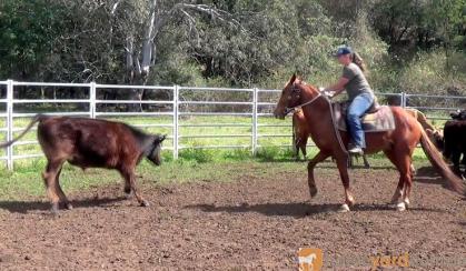 SENSIBLE ALLROUNDER QH GELDING on HorseYard.com.au