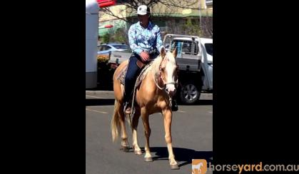 Golden Palomino QH Mare + VIDEO+ on HorseYard.com.au