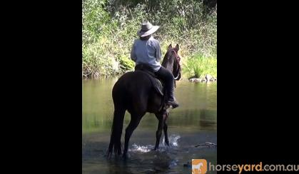 So Quiet Jet Black Stock Horse Gelding + VIDEO+ on HorseYard.com.au