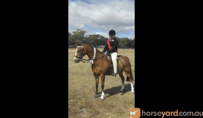 13 Welsh 18year old gelding on HorseYard.com.au