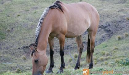 Dun ASH x Arabian Pony Mare on HorseYard.com.au