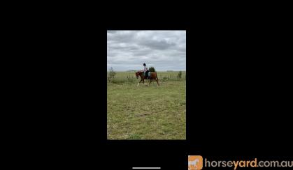 Chestnut schoolmaster  on HorseYard.com.au