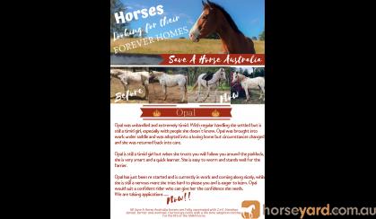 Paloosa mare on HorseYard.com.au