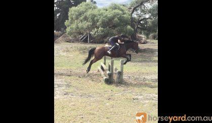 Tb allrounder on HorseYard.com.au