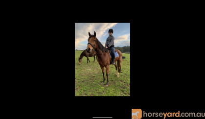 OTTB Bay horse on HorseYard.com.au