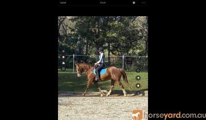 Bodie charismatic all rounder Clydie X TB  on HorseYard.com.au