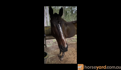 Novice's TB gelding  on HorseYard.com.au
