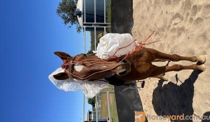 7yr old chestnut quarter horse cross  on HorseYard.com.au