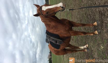 Quiet QH xTB  on HorseYard.com.au