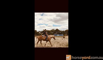 QH X paint gelding  on HorseYard.com.au