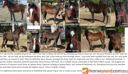 ASH REGISTERED YEARLINGS - 4x filly 2x Colt Australian Stock Horse All Hardrock 2017 Foals on HorseYard.com.au