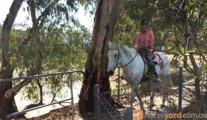 Quiet Percheron Mare, confidence builder on HorseYard.com.au