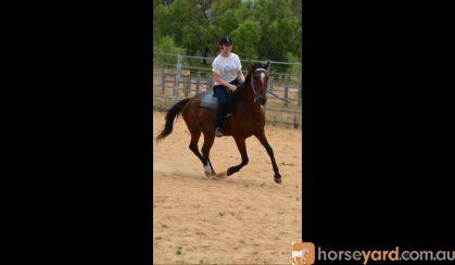 9 y/o bay standardbred gelding on HorseYard.com.au