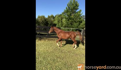 Quality Arabian Gelding  on HorseYard.com.au