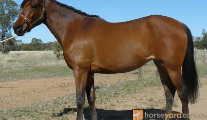 Registered 50% Anglo Arabian Filly on HorseYard.com.au