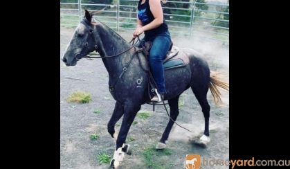 Quiet Stock horse gelding  on HorseYard.com.au