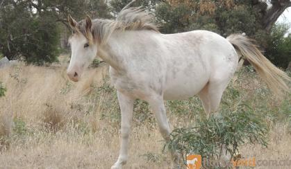 Clydie X QH x Paint Filly, pretty as a picture on HorseYard.com.au