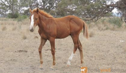 Paint bred colt on HorseYard.com.au