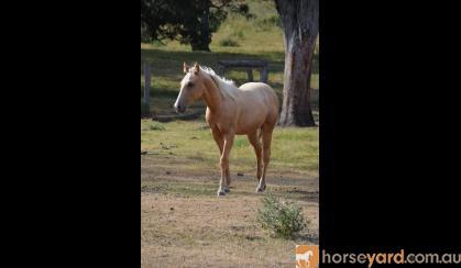 AQHA Palomino Colt on HorseYard.com.au