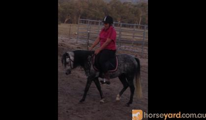 Registered Aust pony, 4yo Filly very pretty girl needs to be showing on HorseYard.com.au
