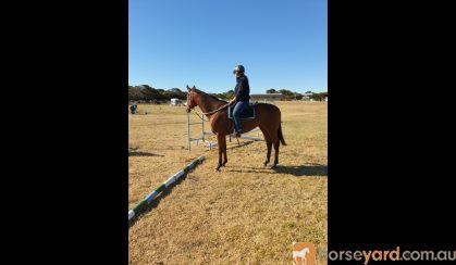 Superstar  on HorseYard.com.au