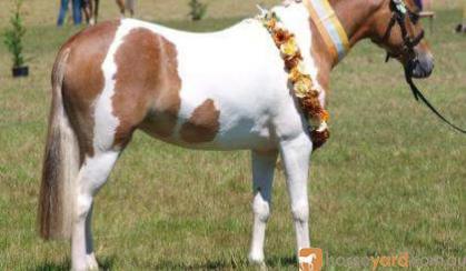 Pinto 3rd Gen Australian Pony Mare on HorseYard.com.au