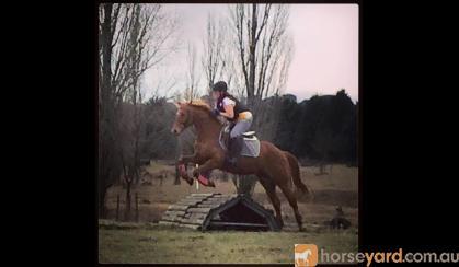 14.3hh 9yo Registered Riding Pony All-rounder performance pony on HorseYard.com.au