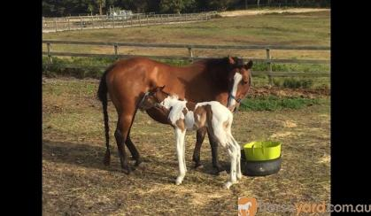 Bay QH Broodmare on HorseYard.com.au