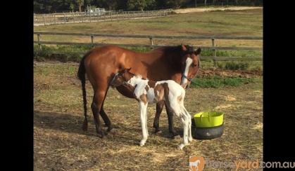 Bay QH Broodmare on HorseYard.com.au
