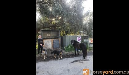 Miniature gelding on HorseYard.com.au