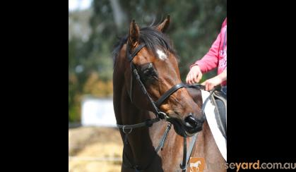 This lovely big QUIET horse has done a bit of everything. on HorseYard.com.au