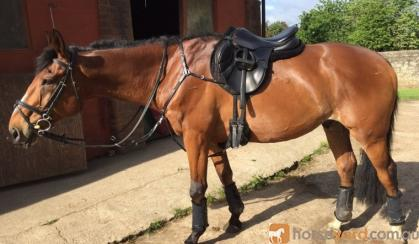 Bright AND Talented and young HorseThoroughbred For Sale  on HorseYard.com.au