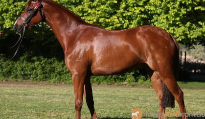 STUNNING NEWCOMER PONY on HorseYard.com.au