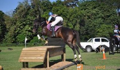 Proven Schoolmaster on HorseYard.com.au
