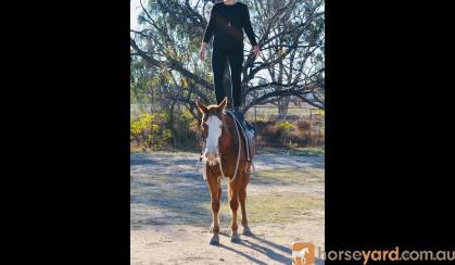 Apache Quiet ASH X QH GELDING  on HorseYard.com.au
