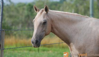 Stunning Cremello Filly on HorseYard.com.au