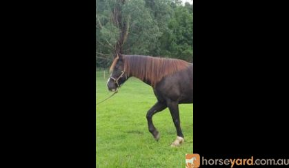 Clydesdale (Clydie) x Warmblood (Wb) x Shire mare on HorseYard.com.au