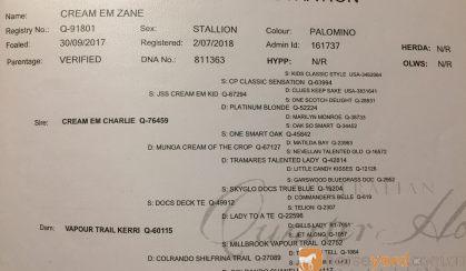 Palomino QH gelding on HorseYard.com.au