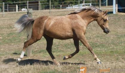 Kyabra Park C'est La Vie on HorseYard.com.au