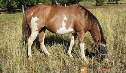Reg Paint mare in foal to Palomino QH on HorseYard.com.au