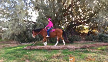 """""""Chancen Around""""reg Paint schoolmasters Gelding, suit anyone  on HorseYard.com.au"""