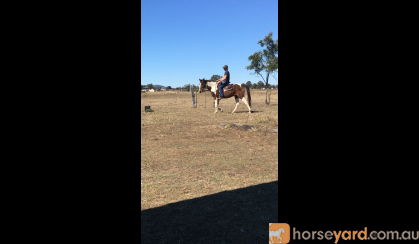 Project paint horse on HorseYard.com.au