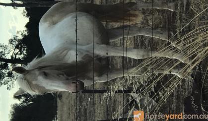 Stunning pally and white colt  on HorseYard.com.au