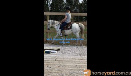 Registered Aust Riding Pony on HorseYard.com.au