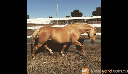 Lovely Palomino Mare on HorseYard.com.au