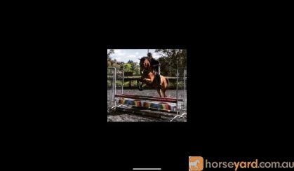 Quiet All Rounder OTTB on HorseYard.com.au