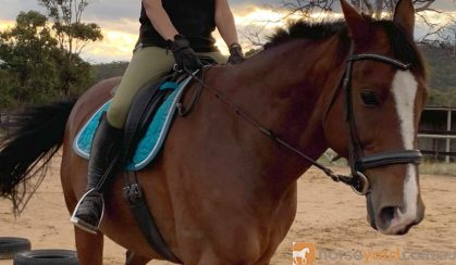 Warmblood Gelding on HorseYard.com.au